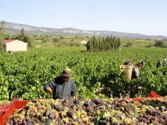 Hand harvesting in the LANGUEDOC